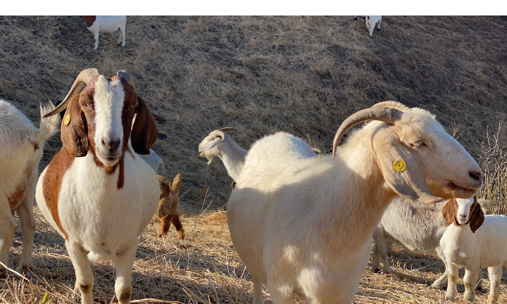 A Photo of goats in a field